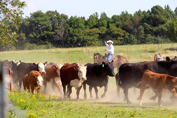 Cattle roundup on the ASU-Beebe farm